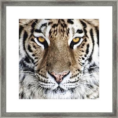 Bengal Tiger Eyes Framed Print by Tom Mc Nemar