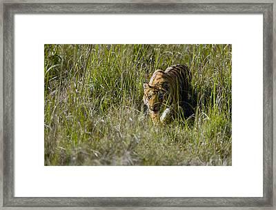 Bengal Tiger Panthera Tigris Tigris Cub Framed Print by Panoramic Images