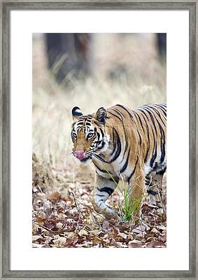 Bengal Tiger Panthera Tigris Tigris Framed Print by Panoramic Images