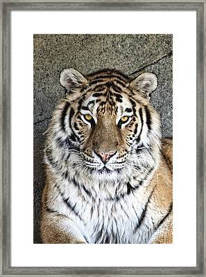 Bengal Tiger Vertical Portrait Framed Print by Tom Mc Nemar