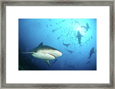 Beqa Shark Labs Framed Print