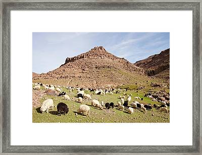 Berber Flock Of Sheep And Goats Framed Print by Ashley Cooper
