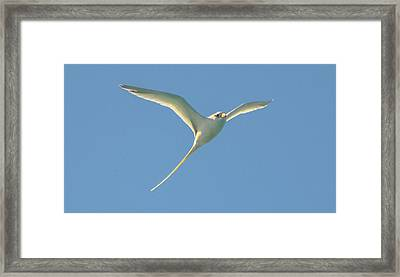Bermuda Longtail In Flight Framed Print