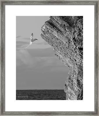 Bermuda Longtail Framed Print