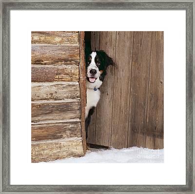 Bernese Mountain Dog At Log Cabin Door Framed Print