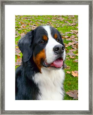 Bernese Mountain Dog Framed Print by Jennie Marie Schell