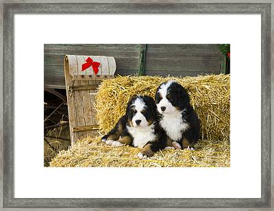Bernese Mountain Dog Puppies Sit On Hay Framed Print