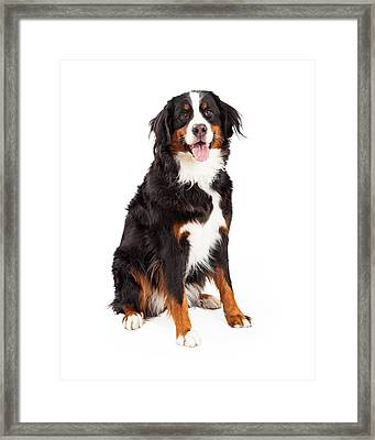 Bernese Mountain Dog Sitting Framed Print by Susan Schmitz
