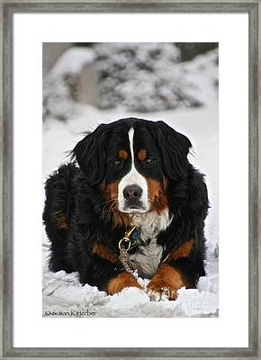 Bernese Mountain Dog Framed Print by Susan Herber