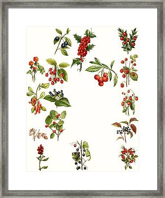 Berries Framed Print by English School