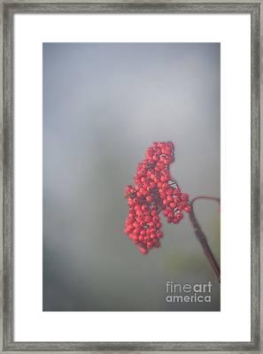 Berries In Fog Framed Print by Dan Friend