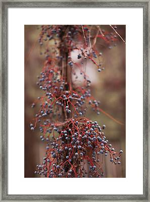 Berries On A Tree, Healdsburg, Russian Framed Print