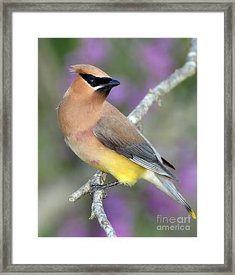 Berry Stained Waxwing Framed Print