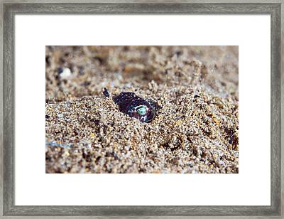 Berry's Bobtail Squid Framed Print by Scubazoo/science Photo Library