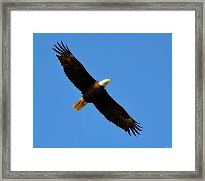 Best Bald Eagle On Blue Framed Print