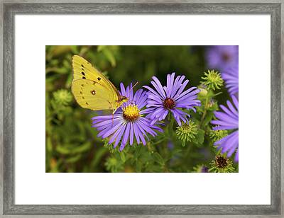 Framed Print featuring the photograph Best Friends - Sulphur Butterfly On Asters by Jane Eleanor Nicholas