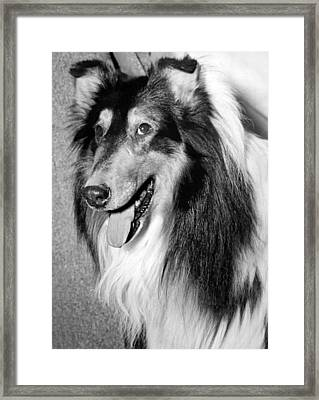 Best Of Breed Collie Framed Print by Underwood Archives