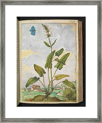 Betony (stachys Sp.) Framed Print