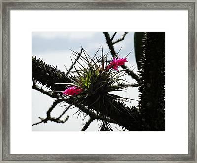 Between Thorns Framed Print by Zinvolle Art