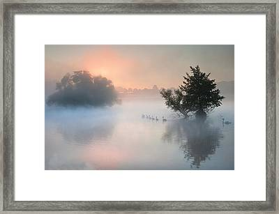 Bevy Herd Of Swans On Misty Foggy Autumn Fall Lake Framed Print by Matthew Gibson