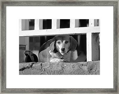 Beware - Guard Beagle On Duty In Black And White Framed Print by Suzanne Gaff