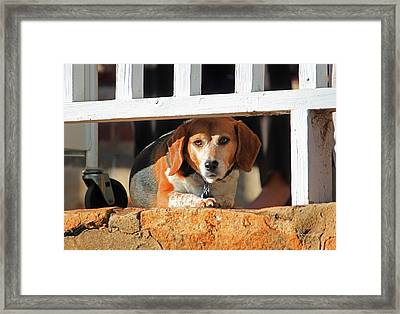 Beware - Guard Beagle On Duty Framed Print by Suzanne Gaff