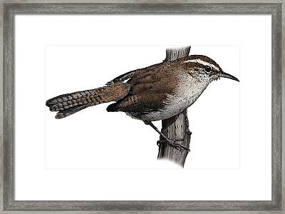 Bewicks Wren, Illustration Framed Print by Roger Hall