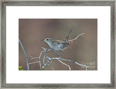 Bewicks Wren In Tree Framed Print by Anthony Mercieca