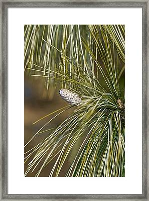 Bhutan Pine (pinus Wallichiana) Framed Print