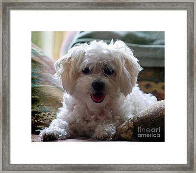 Bichon Frise Dog Portrait Framed Print