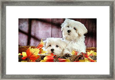 Bichon Puppies Framed Print by Marvin Blaine