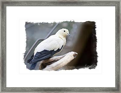 Bicolor Pigeon Framed Print