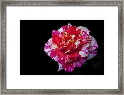 Framed Print featuring the photograph Bicolour Beauty by Doug Norkum