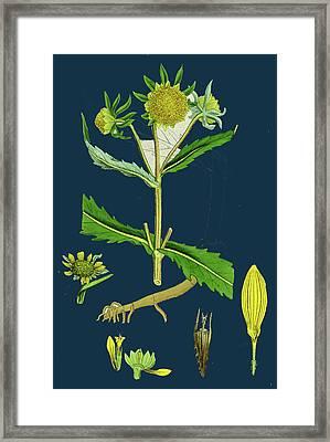 Bidens Cernus, Var. Genuina Nodding Bur-marygold Framed Print