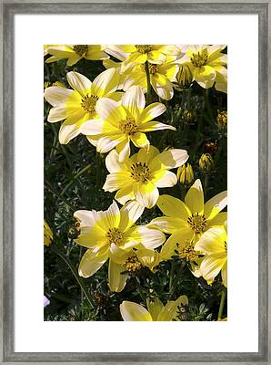 Bidens 'golden Eye' Framed Print by Adrian Thomas