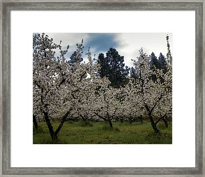 Big Apple Blossoms Framed Print