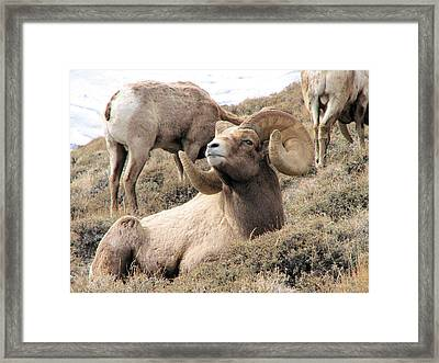 Big Bighorn Ram Framed Print