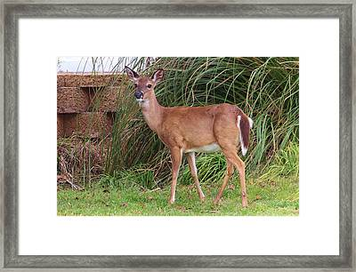 Big Brown Eyes Framed Print by Cynthia Guinn