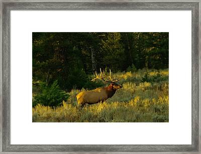 Big Bull In The Morning Light Framed Print by Jeff Swan
