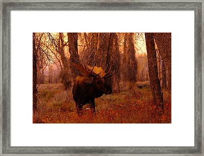 Big Bull Moose In The Woods Framed Print by Jeff Swan