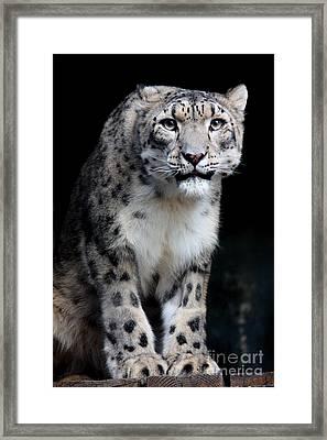 Big Cat's 2011.no.3 Framed Print by RL Clough