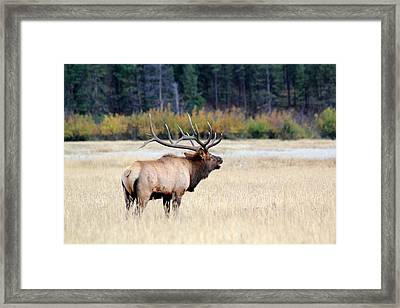 Big Colorado Bull Framed Print
