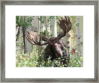Big Daddy The Moose 3 Framed Print by Fiona Kennard