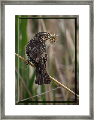 Framed Print featuring the photograph Big Dinner For Female Red Winged Blackbird II by Patti Deters