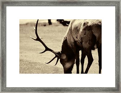 Big Elk In Sepia Framed Print