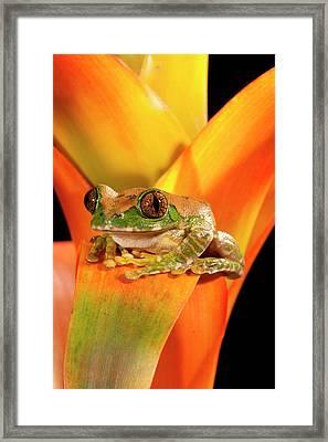 Big Eye Treefrog, Leptopelis Framed Print by David Northcott