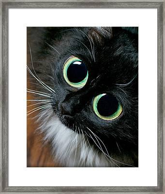 Big Eyed Cat Begging Portrait Framed Print by Berkehaus Photography