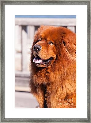 Big Fluffy Dog 5d29703 Framed Print by Wingsdomain Art and Photography