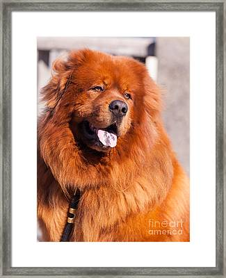 Big Fluffy Dog 5d29704 Framed Print by Wingsdomain Art and Photography