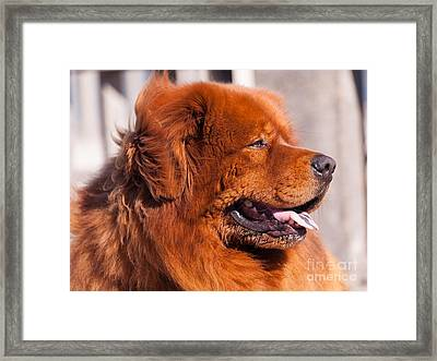Big Fluffy Dog 5d29707 Framed Print by Wingsdomain Art and Photography